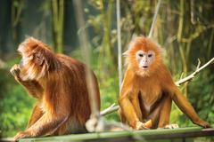 Ebony langurs, orange monkeys Stock Photos