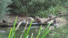 Australian Ducks grooming Stock Footage