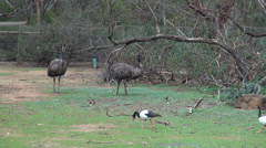 Emu and Magpie Goose Stock Footage