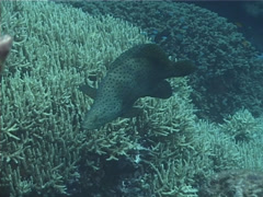 Barramundi cod swimming, Chromileptes altivelis, UP1933 Stock Footage