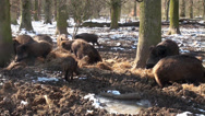 Stock Video Footage of A pack wild boars in winter