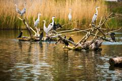 Grey herons Stock Photos