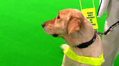 Guide dog and blind woman isolated on green Stock Footage