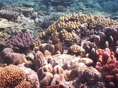 White-mouth moray gaping, Gymnothorax meleagris, UP1942 Stock Footage