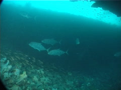 Mangrove jack swimming and schooling, Lutjanus argentimaculatus, UP1954 Stock Footage