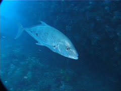 Yellowspotted trevally swimming, Carangoides fulvoguttatus, UP1962 Stock Footage