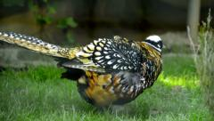 Reeve's pheasant walking in a bush Stock Footage