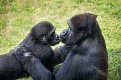 baby gorilla with mother - stock photo