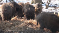 Stock Video Footage of Wild boars in winter eating hay