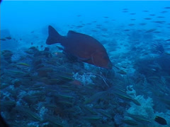 Mangrove jack hovering, Lutjanus argentimaculatus, UP1966 Stock Footage
