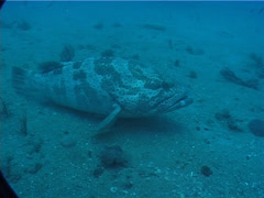 Orange-spotted grouper on deep sand and coral rubble, Epinephelus coioides, Stock Footage