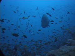 Humphead maori wrasse swimming, Cheilinus undulatus, UP2009 Stock Footage