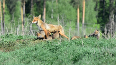 Fox pups. Stock Footage