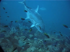 Giant trevally hovering and schooling, Caranx ignobilis, UP2014 Stock Footage