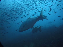 Ocean scenery fluid schools of baitfish and trevally, on deep historic shipwreck Stock Footage