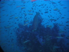 Ocean scenery fluid schools of baitfish harassed by predators, on deep historic Stock Footage