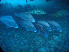 Mother-in-law fish hovering and schooling, Diagramma picta, UP2038 Stock Footage