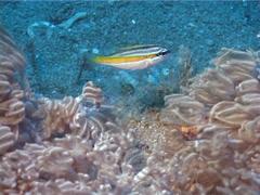 Juvenile Yellow-stripe monocle bream swimming, Scolopsis aurata, UP2051 - stock footage