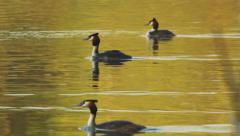 Group of ducks in lake Stock Footage