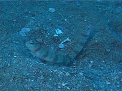 Horse-shoe shrimpgoby, Amblyeleotris arcupinna, UP2052 Stock Footage