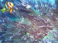 Clark's anemonefish feeding, Amphiprion clarkii, UP2054 Stock Footage