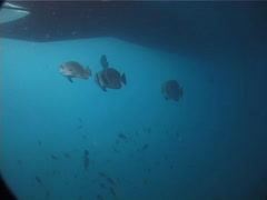 Blunthead batfish swimming and schooling, Platax teira, UP2076 Stock Footage