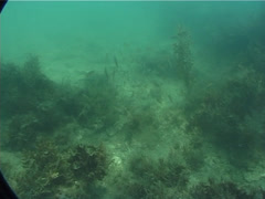 Juvenile Yellowstripe scad swimming and schooling, Selaroides leptolepis, UP2080 Stock Footage