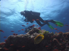 Buddy team of scuba divers on shallow coral reef with Scalefin anthias in Fiji Stock Footage