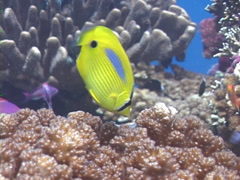 Bluespot butterflyfish swimming, Chaetodon plebeius, UP2127 Stock Footage