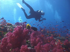 Group of scuba divers swimming on shallow coral reef with Variable soft coral Stock Footage