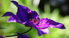 Detail of violet clematis Stock Footage