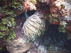 Giant caribbean anemone feeding, Condylactis gigantea, UP2135 Stock Footage