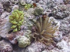 Giant caribbean anemone feeding, Condylactis gigantea, UP2139 Stock Footage