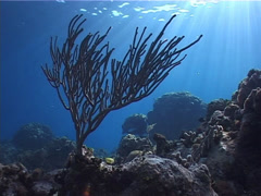Knobby sea rods swaying on shallow coral reef at dusk, Eunicea sp. Video 2164. Stock Footage