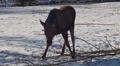 Elk - Moose in winter HD Footage