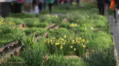 Daffodils on the High Line Stock Footage