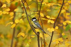 Chickadee bird Stock Photos