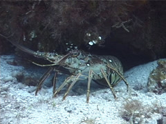 Spiny lobster, Panularis argus, UP2191 Stock Footage