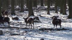 Mouflons in winter Stock Footage