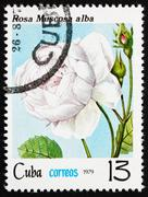 Postage stamp Cuba 1979 Rose, Rosa Muscosa Alba Stock Photos