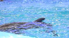 Bottlenose Dolphin in Captivity Stock Footage