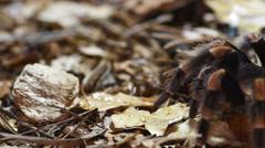 Mexican Redknee Tarantula Stock Footage