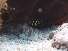 Juvenile French angel swimming, Pomacanthus paru, UP2220 Stock Footage