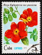 Postage stamp Cuba 1979 Rose, Rosa Eglanteria Punicea - stock photo