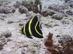 Juvenile French angel swimming, Pomacanthus paru, UP2229 Stock Footage