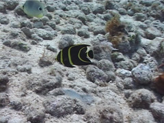 Juvenile French angel swimming, Pomacanthus paru, UP2230 Stock Footage