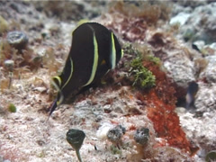 Juvenile French angel feeding, Pomacanthus paru, UP2232 Stock Footage