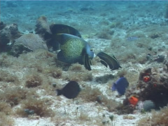 French angel swimming, Pomacanthus paru, UP2242 Stock Footage