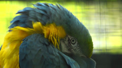 Blue and yellow macaw close up Stock Footage