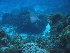 Queen angel swimming on deep coral reef, Holacanthus ciliaris, UP2262 Stock Footage